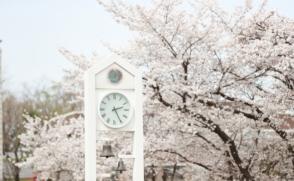 [삼육동사진관] 벚꽃으로 물든 캠퍼스